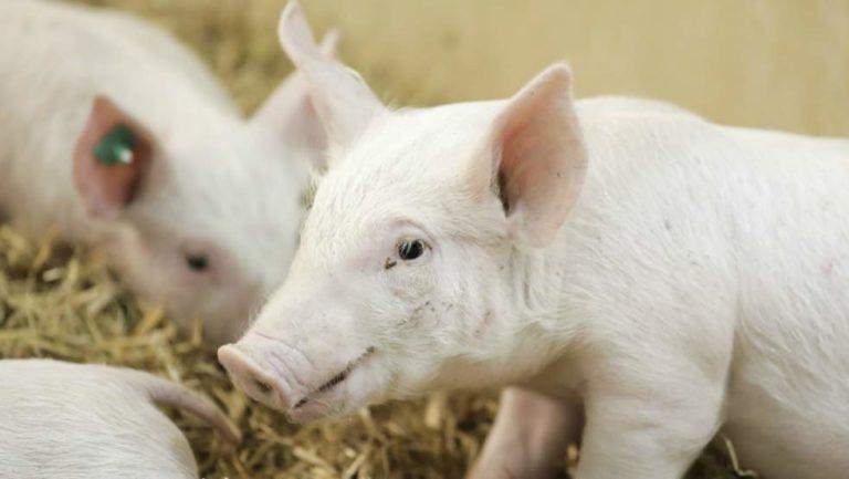 Des scientifiques ont réussi à maintenir en activité des cerveaux de porcs hors de leur crâne