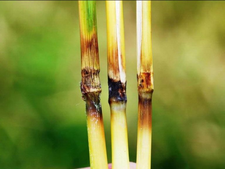 Les maladies des plantes en forte augmentation partout dans le monde