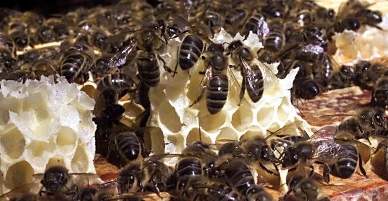 Les abeilles cubaines plus productives que les françaises? Oui, mais l'absence de pesticides n'est pas la seule raison
