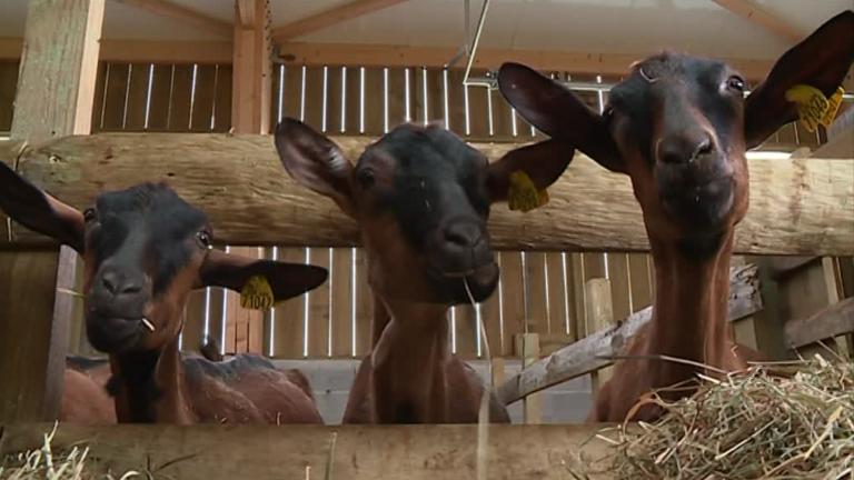 Béarn : ils ont choisi de changer de vie et d'élever des chèvres