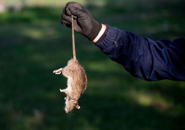 Après 250 ans de ravages, les rats ont été éradiqués de Géorgie du Sud