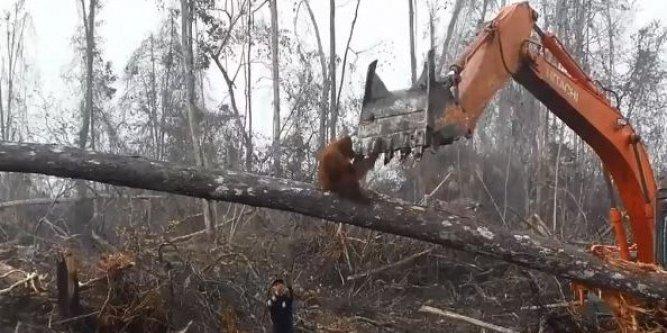 Le courage d'un orang-outan qui fonce sur un bulldozer en train de détruire sa forêt