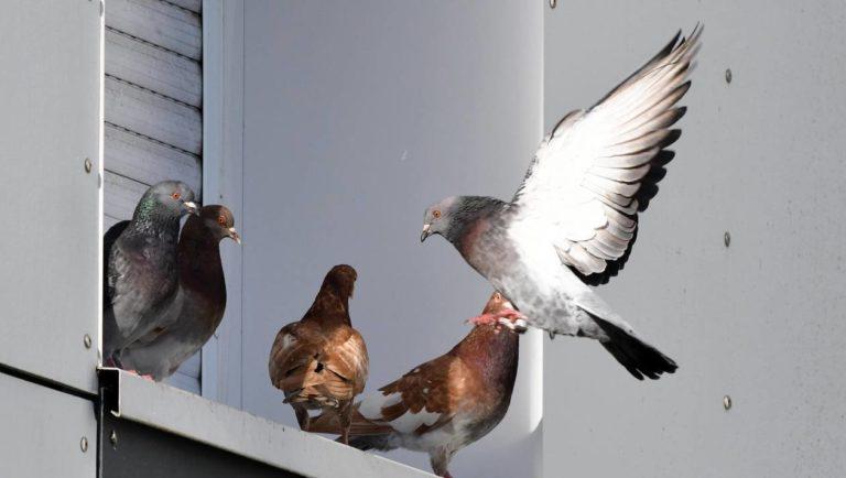La Chine utilise des drones pigeons pour surveiller la population