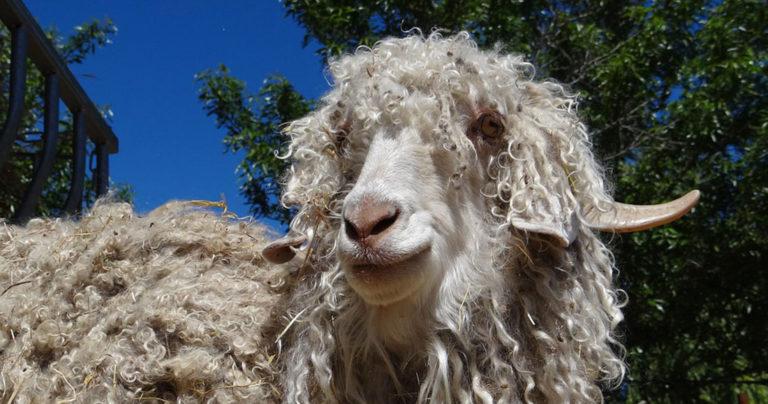 Victoire pour les animaux : de plus en plus de marques de vêtements renoncent à la laine de Mohair