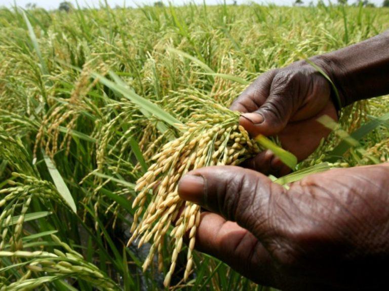 Le riz africain pour s'adapter au réchauffement climatique