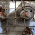 La Flandre va bannir le gavage et l'élevage d'animaux à fourrure, Gaia pointe la Wallonie