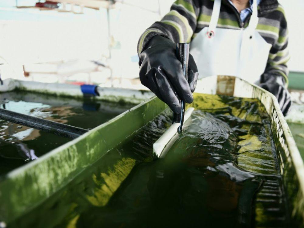 En Bretagne les micro-algues passent à la ferme