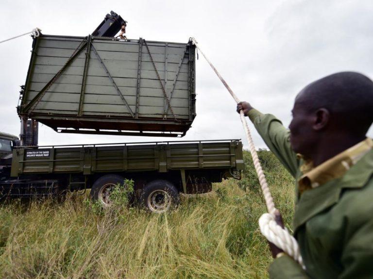 Kenya : 11 rhinocéros transférés pour leur préservation sont morts… de soif