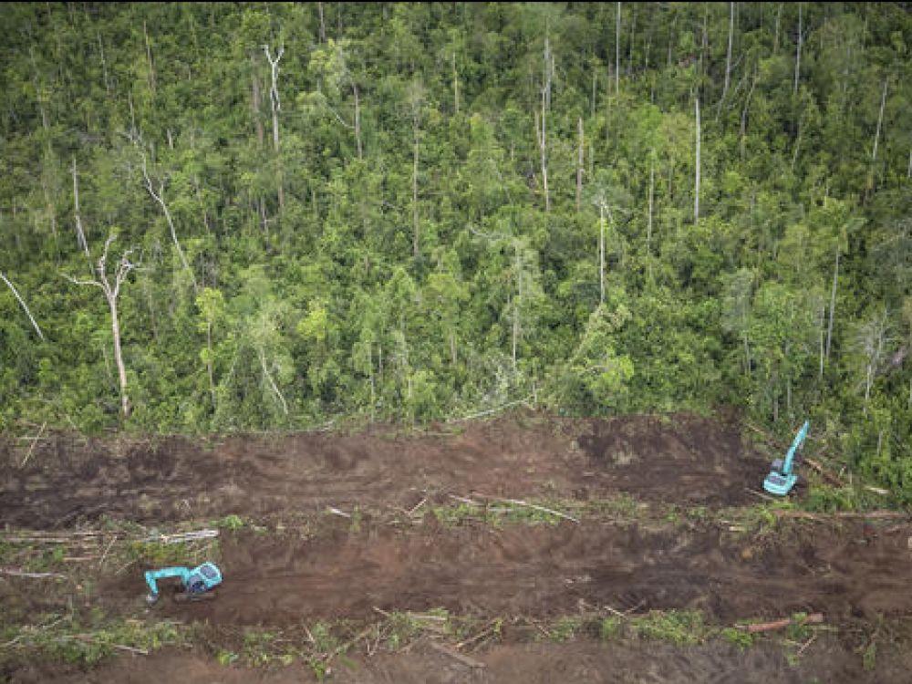 La déforestation par les palmiers à huile est bien difficile à arrêter !