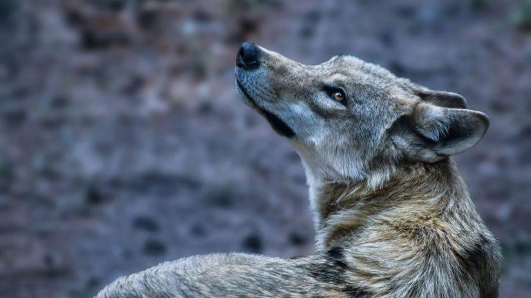 Ours, loup et lynx : les sénateurs réclament une gestion européenne des grands prédateurs