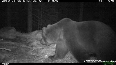 Pour que l'ours et le berger puissent vivre ensemble dans les Pyrénées