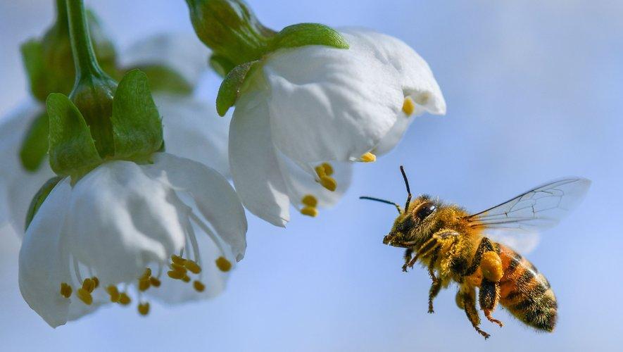 Première mondiale : un vaccin pour les abeilles face à l'apocalypse des insectes