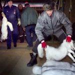 La Norvège va interdire les élevages d'animaux à fourrure d'ici à 2025