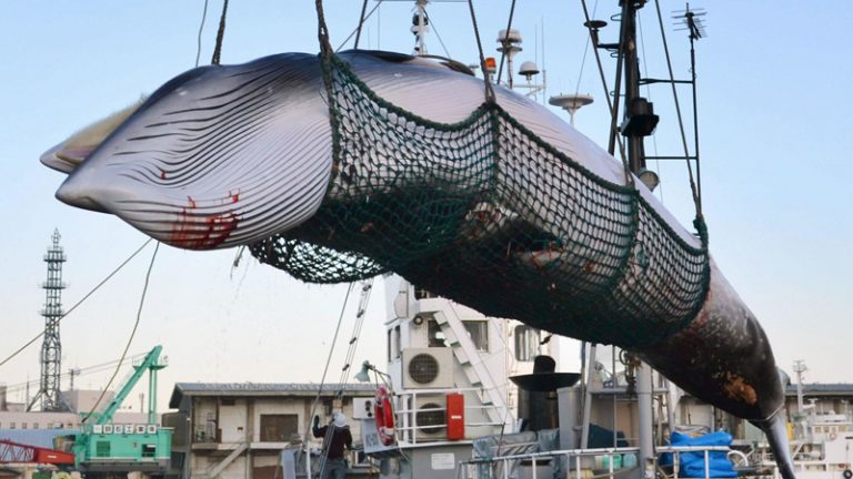 L'Islande prévoit de tuer plus de 2 000 baleines d'ici 2023
