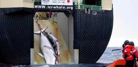 AUSTRALIE. Un baleinier japonais condamné à un million de dollars d'amende