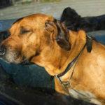 Canicule : que faire si vous voyez un chien mourir de chaud dans une voiture ?
