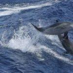 Dauphins pris dans les filets de pêche : France Nature Environnement dénonce un « massacre »