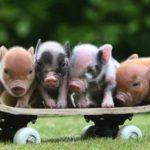 Des mini-cochons génétiquement modifiés pour être vendus comme animaux de compagnie