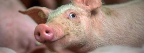 Des scientifiques créent des porcs génétiquement modifiés pour donner leurs organes aux hommes