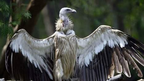 Deux vautours mâles se sont relayés pour couver un œuf abandonné et fonder enfin une famille
