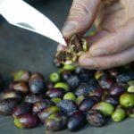 Espagne : des mouches transgéniques à l'attaque des mouches de l'olive