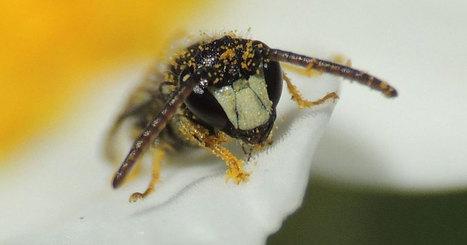 États-Unis : les abeilles intègrent la liste des espèces en danger d'extinction