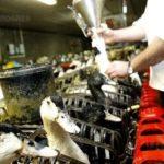 Foie gras : faut-il interdire le gavage des oies et des canards ?