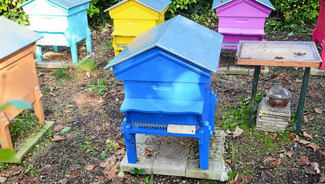 Frelon asiatique.  Les abeilles de Brest décimées