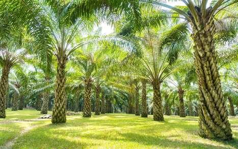 Huile de palme : le Substipalm pourrait – enfin – la remplacer