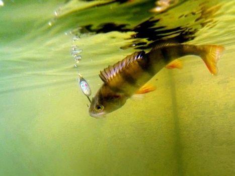 Il faut mettre un terme à l'inutile souffrance des poissons