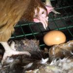 L214 dénonce « l'enfer » des conditions d'élevage des poules des œufs Matines