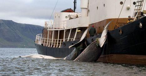 La chasse à la baleine est en crise… la Norvège décide donc de relever les quotas de 30%