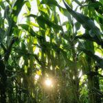 La culture des OGM facilitée dans l'Union européenne
