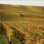 La vigne résistante au mildiou arrive