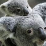 L'Australie pourrait tuer la moitié de ses koalas