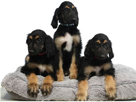 Le 1er clone de chien a été «recloné» avec succès