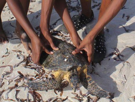 Le calvaire des tortues kenyanes, le corps rempli de plastiques