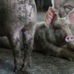 Le gouvernement annonce que le délit de maltraitance animale s'appliquera désormais aux abattoirs