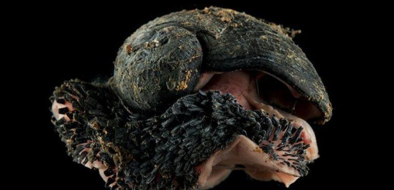 Les gastéropodes écailleux menacés par l'exploitation minière en eaux profondes | Le blob, l'extra-média