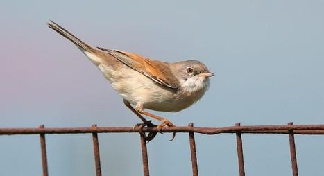 Les pesticides sont bien l'une des causes du déclin des oiseaux