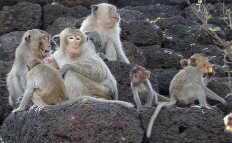 Les premiers singes clonés voient le jour en Chine