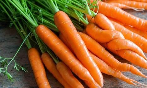 Les végans contraints de manger des cailloux ? Selon une étude de l'université de l'Ohio, les carottes seraient sensibles à la douleur