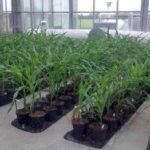 L'Union européenne autorise la commercialisation de 19 OGM
