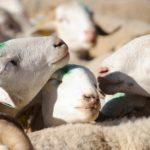Nouveaux cas de maltraitance animale dans deux abattoirs français