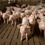 Peste porcine : «la plus grande épidémie animale jamais vue sur la planète» est en cours
