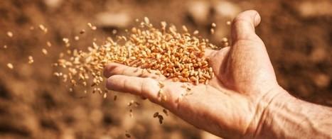 Pollution: l'excès de CO2 menace la teneur en protéines des récoltes