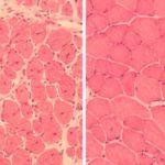Pour la première fois, la reprogrammation cellulaire a inversé le processus de vieillissement chez des souris