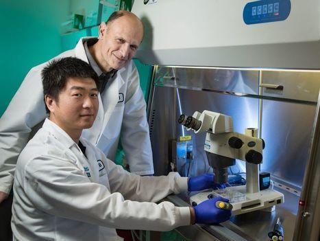 Première création d'embryons chimères porc-humain