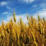 «Ressemer sa propre récolte est interdit ou taxé pour les agriculteurs» : FAUX ! C'est même le contraire !