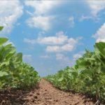 Un soja non OGM pour le marché français